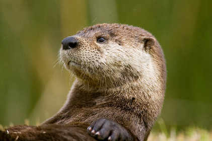 Photo of otter