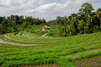 paddyfield rice
