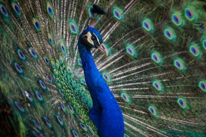 Photo of peafowl