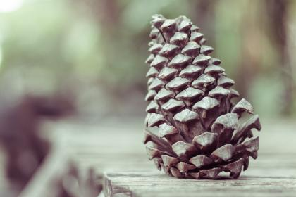 pinecone conifer