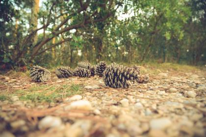 pinecones forest