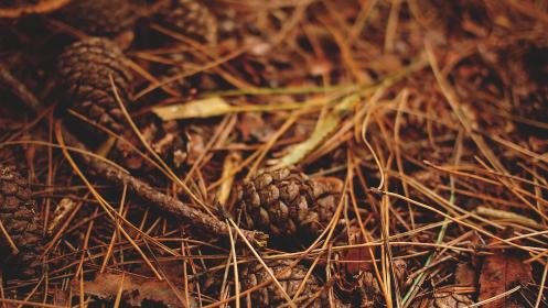 pinecones woods