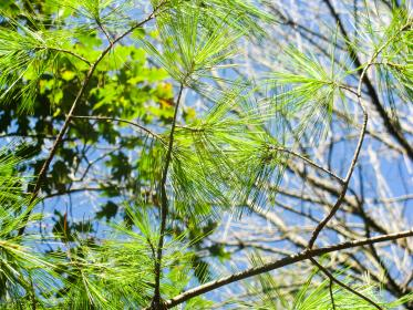 pines leaves