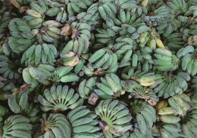 plantains bananas