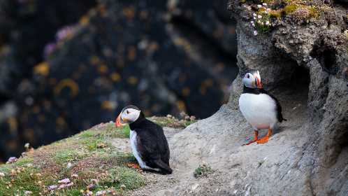 Photo of puffins