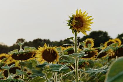 Photo of sunflower
