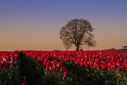 Photo of tulips