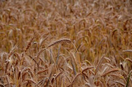 Photo of wheat