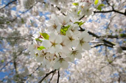 white cherryblossoms