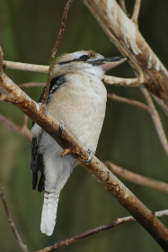 woodpecker bird