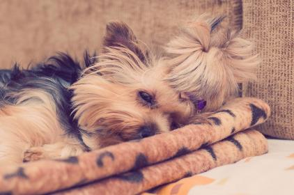 Photo of yorkie