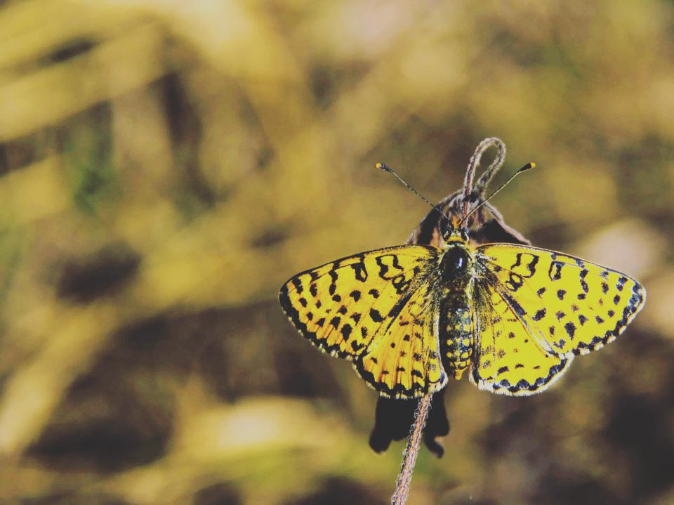 animals insects butterfly majestic black yellow macro still bokeh