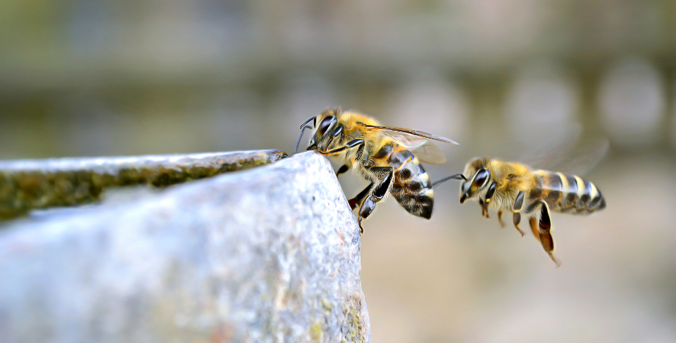 bees flying insect insects drink drinking water day animal nature hive nectar honey outdoors wings