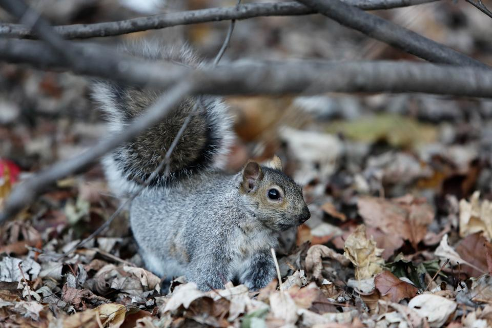 squirrel animal leaves woods forest nature branches