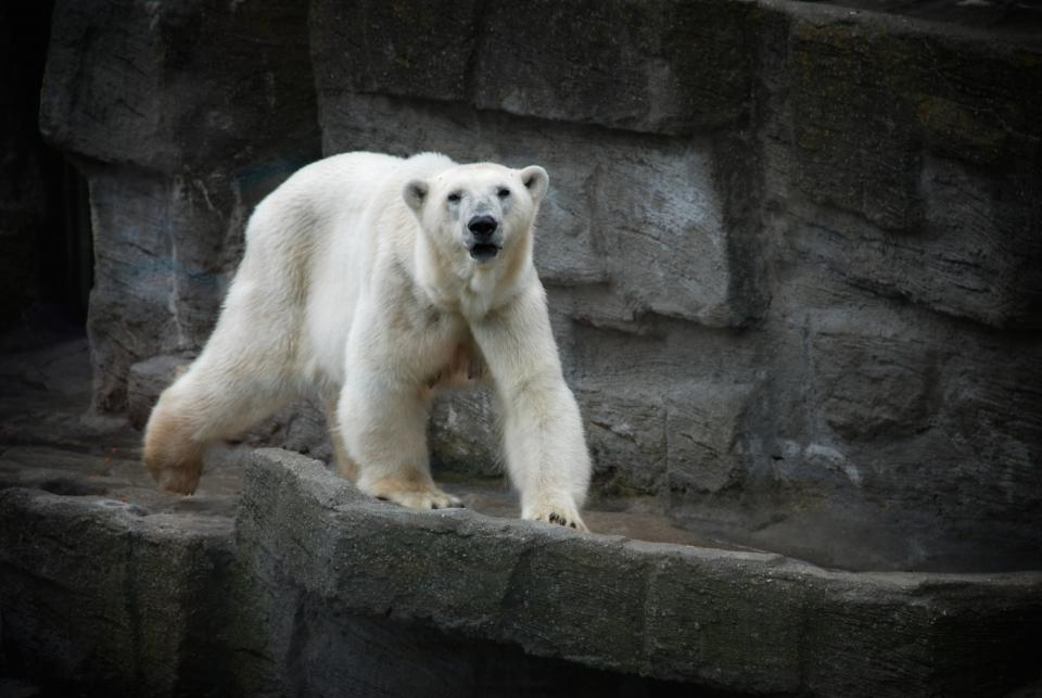 white polar bear animal