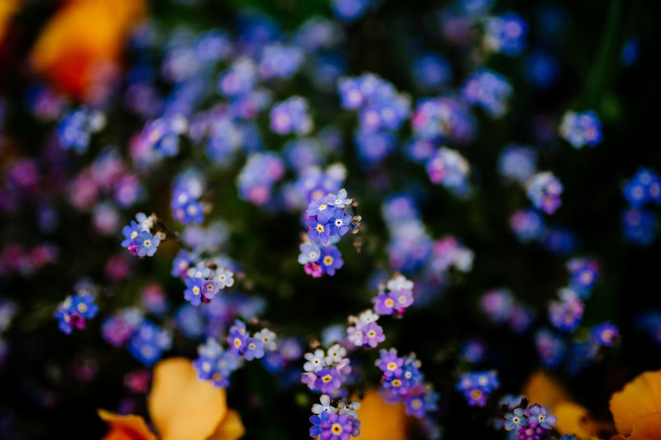 purple flower bloom blossom outdoor nature garden field blur