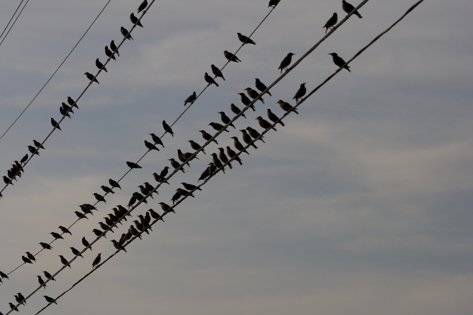 birds perched wire city line sky silhouette group flock electric cable urban high nature clouds fly flight animal