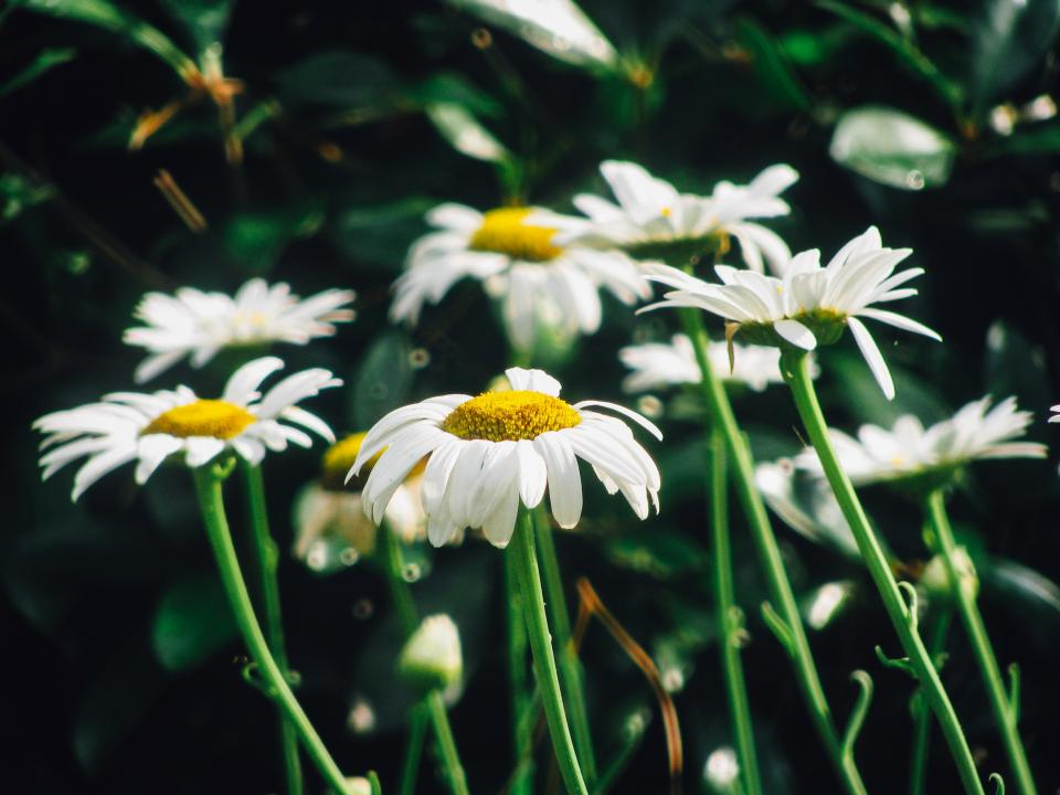 daisy daisies flowers garden nature sunshine