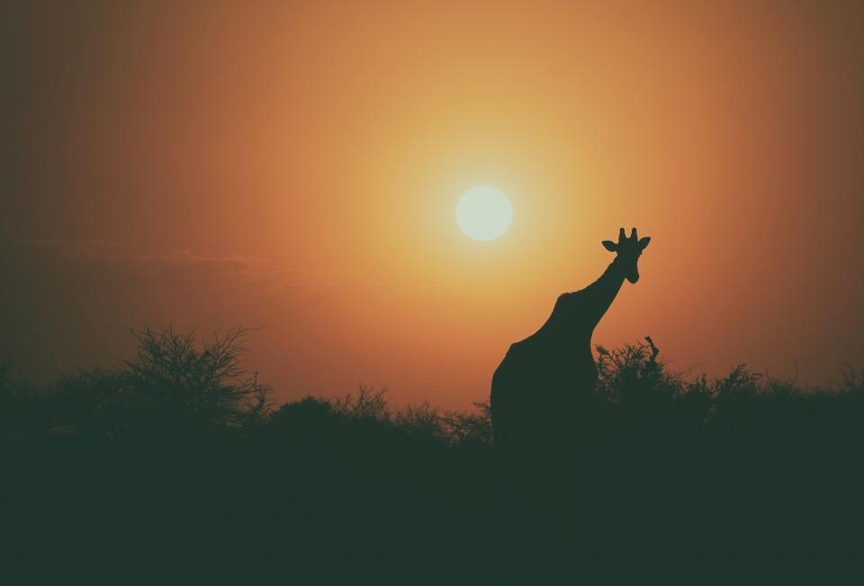 giraffe animal wildlife tree plant outdoor nature sky dark sunset silhouette