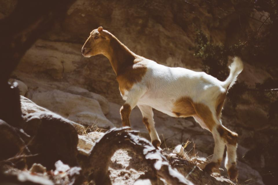goat animal wildlife stone alone rocks forest woods