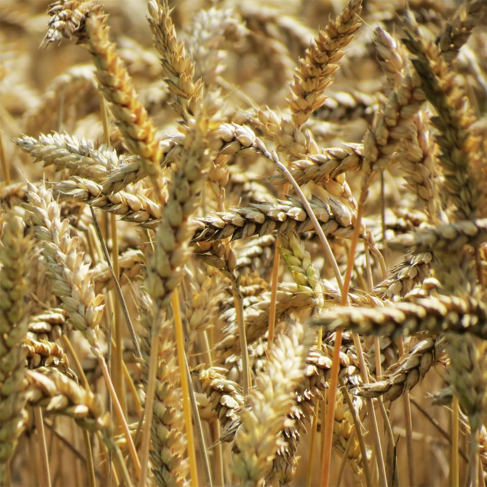 wheat plants agriculture