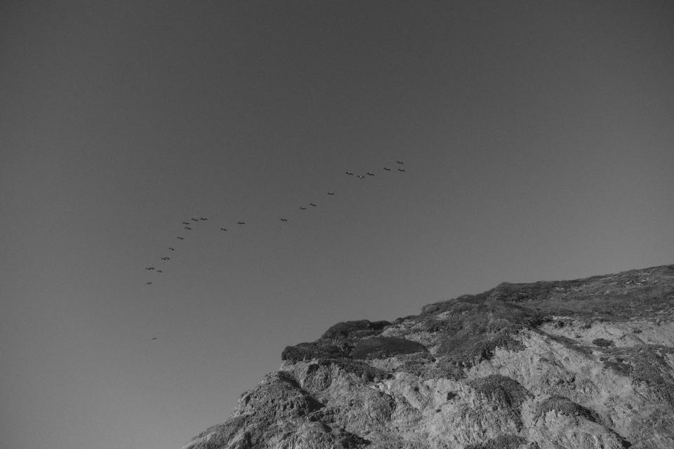 birds flock flying animals sky grey black and white nature