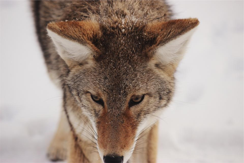 wolf animal whiskers wild