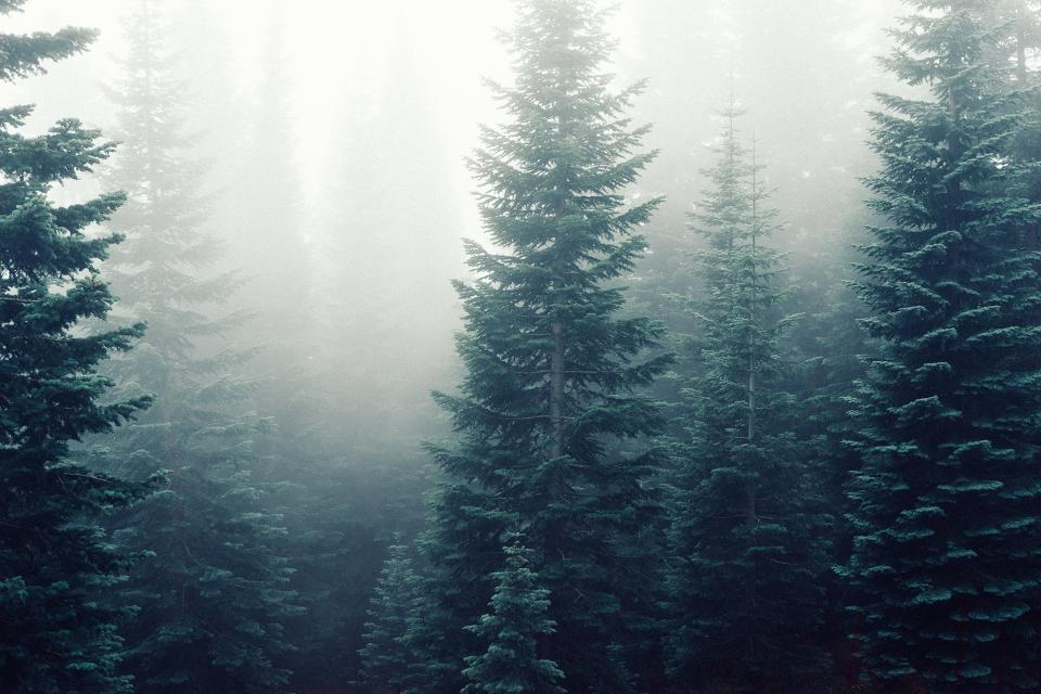 forest fog foggy trees woods green