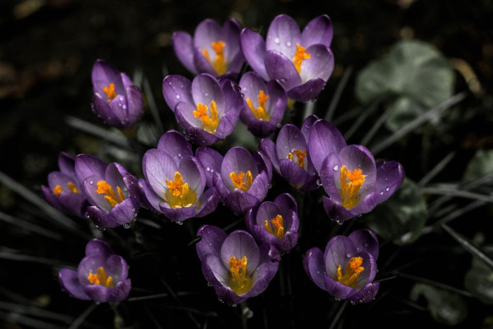 flower lavender bloom beautiful nature leaves cretan crocus