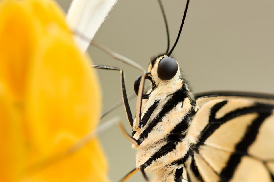 insect butterfly closeup flower eyes wings fur antenna black head nature