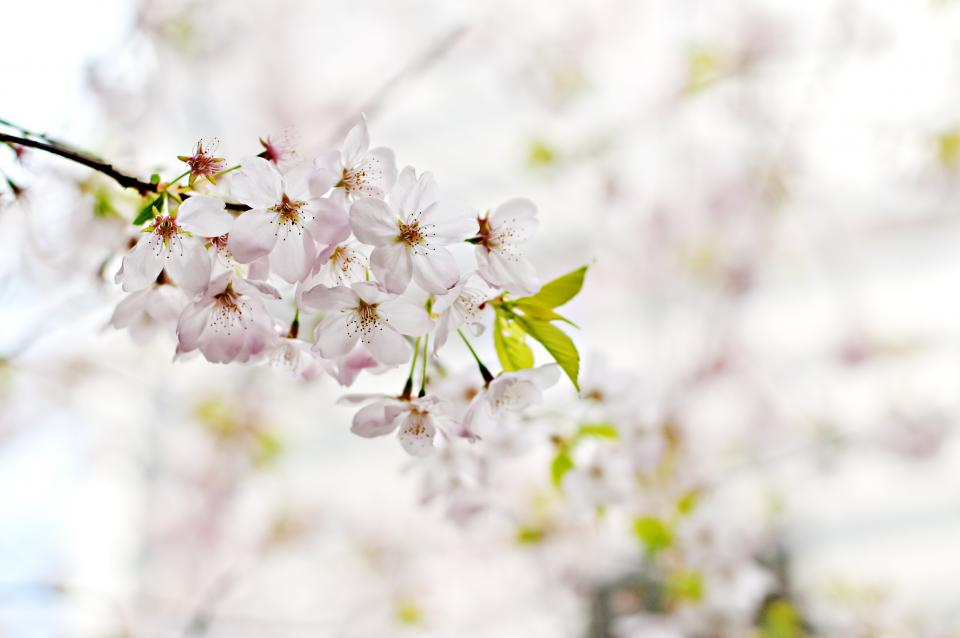 blossoms flowers trees branches nature white