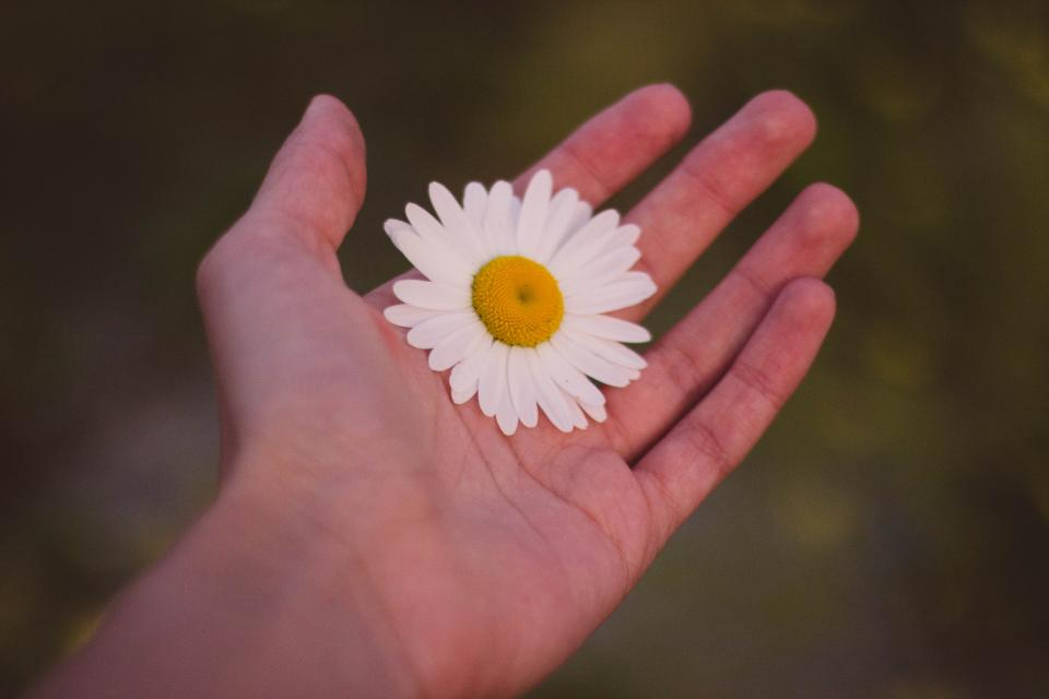 hand daisy flower nature outdoors