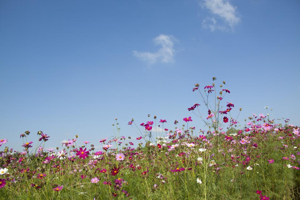 flowers nature blossoms field bed white purple stems stalks petals leaves grass bokeh outdoors sky clouds