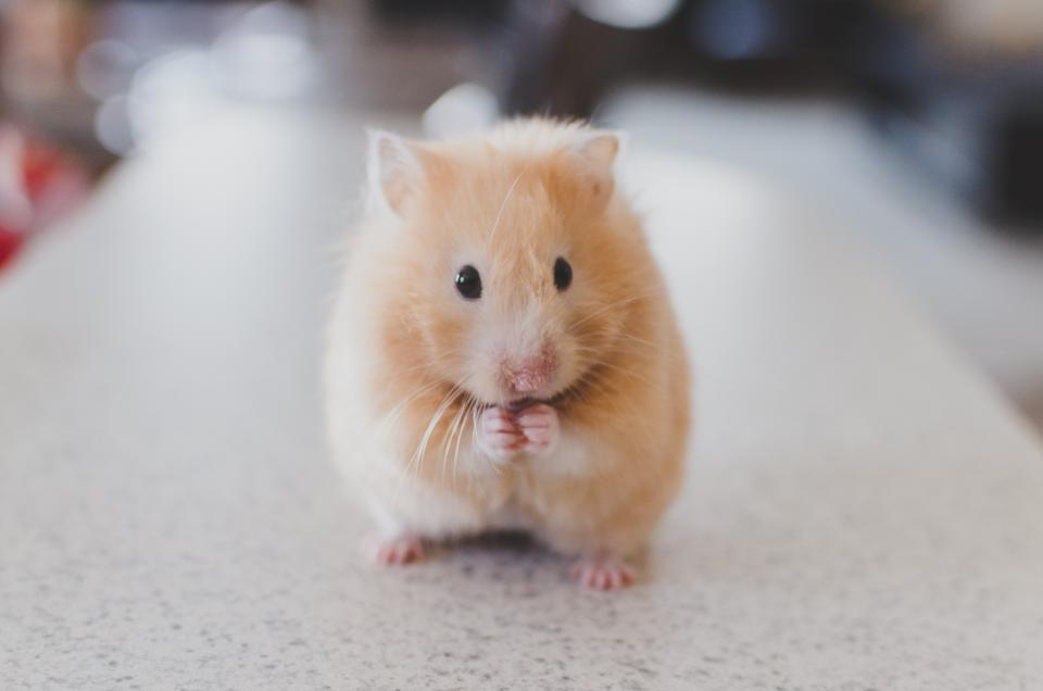 hamster animals cute