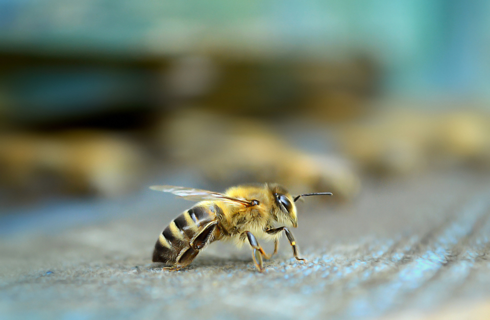 bee insect nature wild garden hive yellow fly