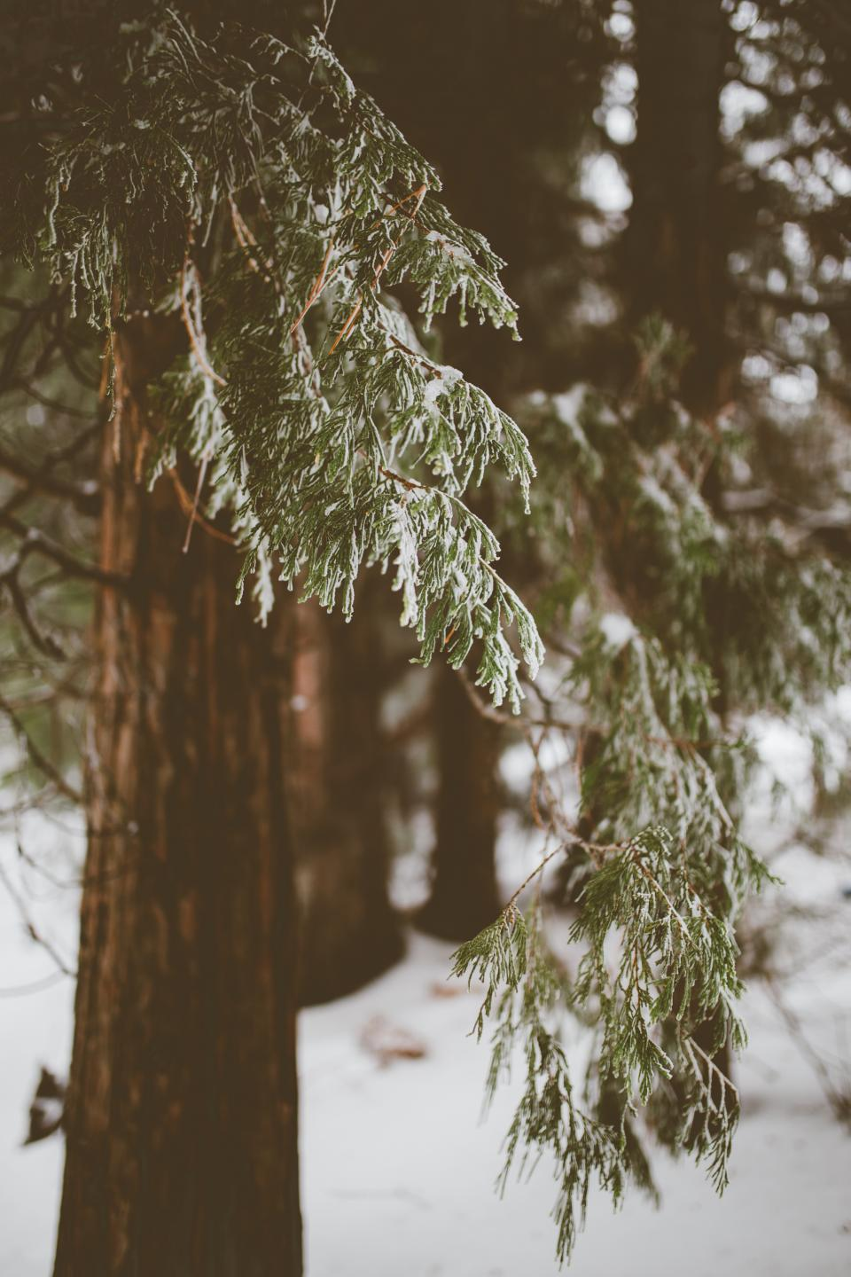 trees plant nature branch leaves snow winter cold weather