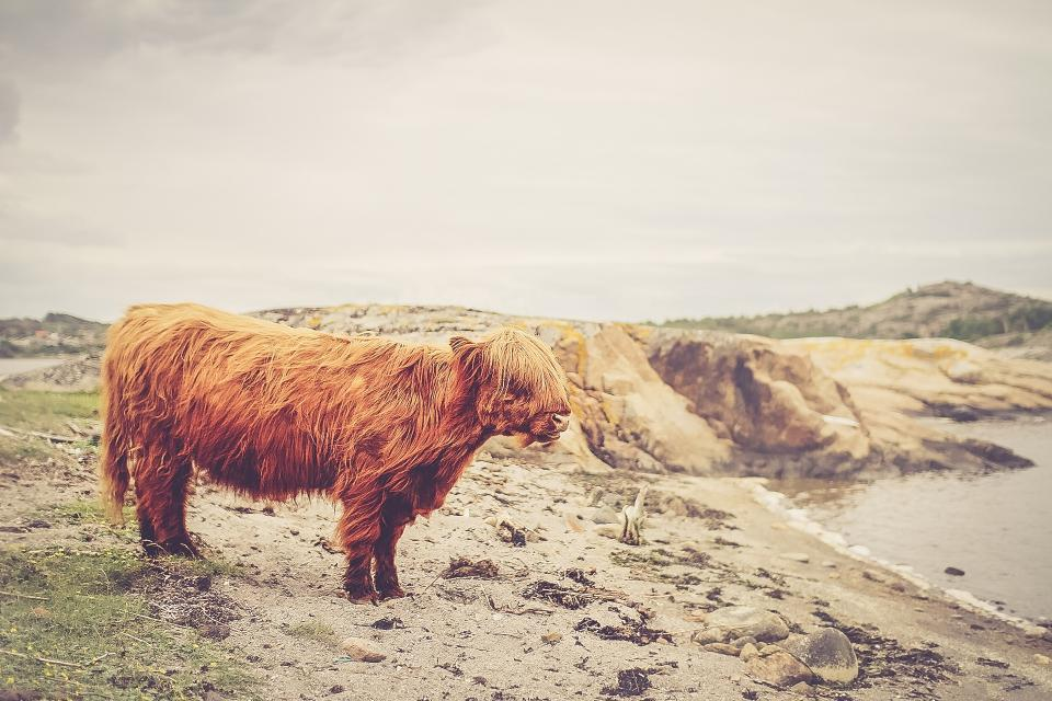 grey sky beach sand water wild cow animal shaggy