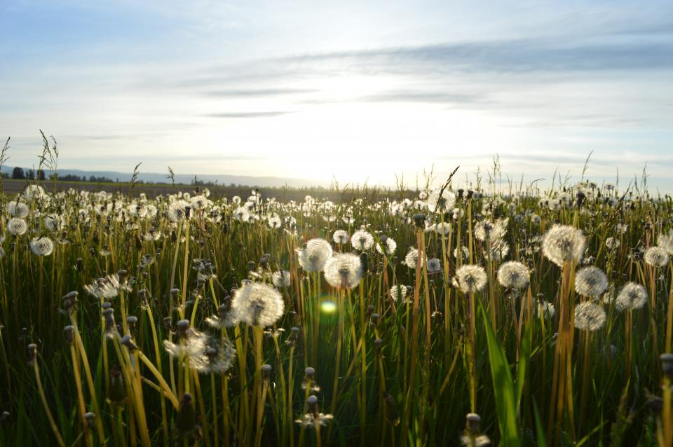 sunny sunshine sky fields dandelions flowers country outdoors