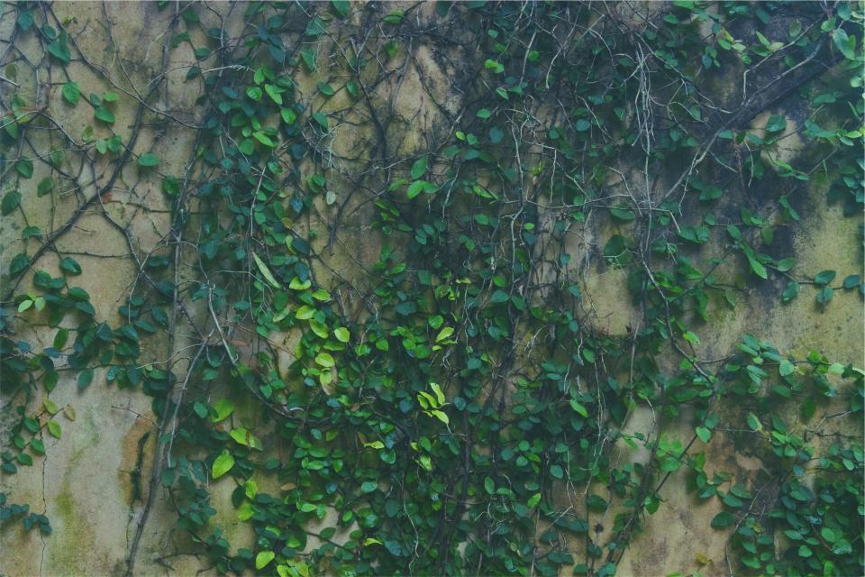 vines green leaves wall