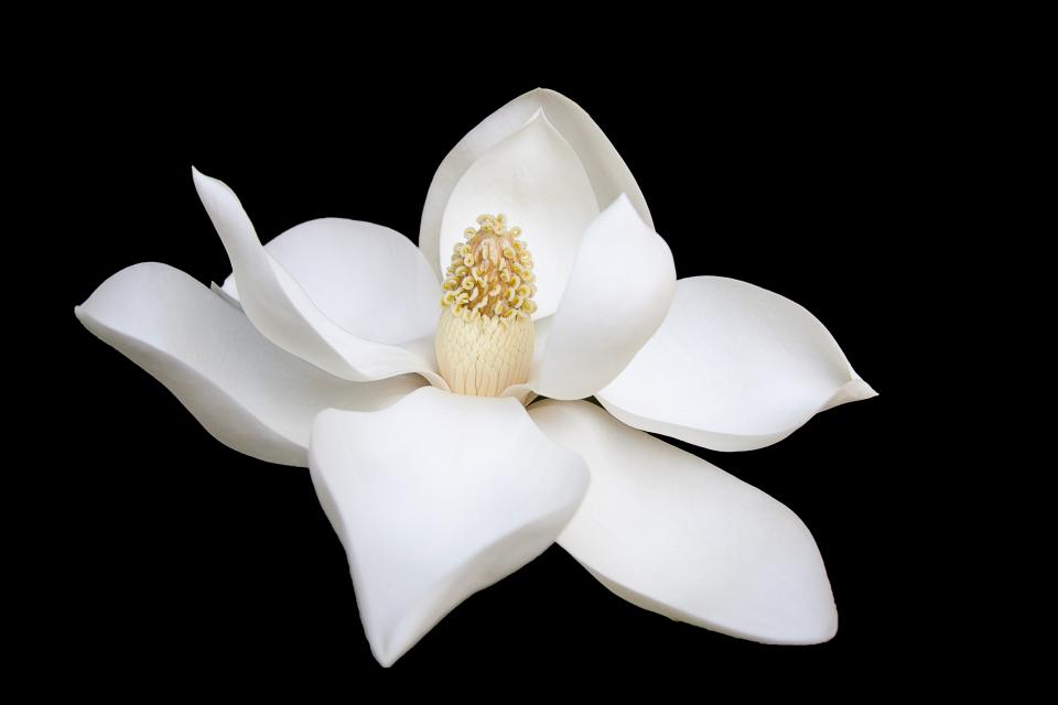 dark white flower bloom petals nature plant