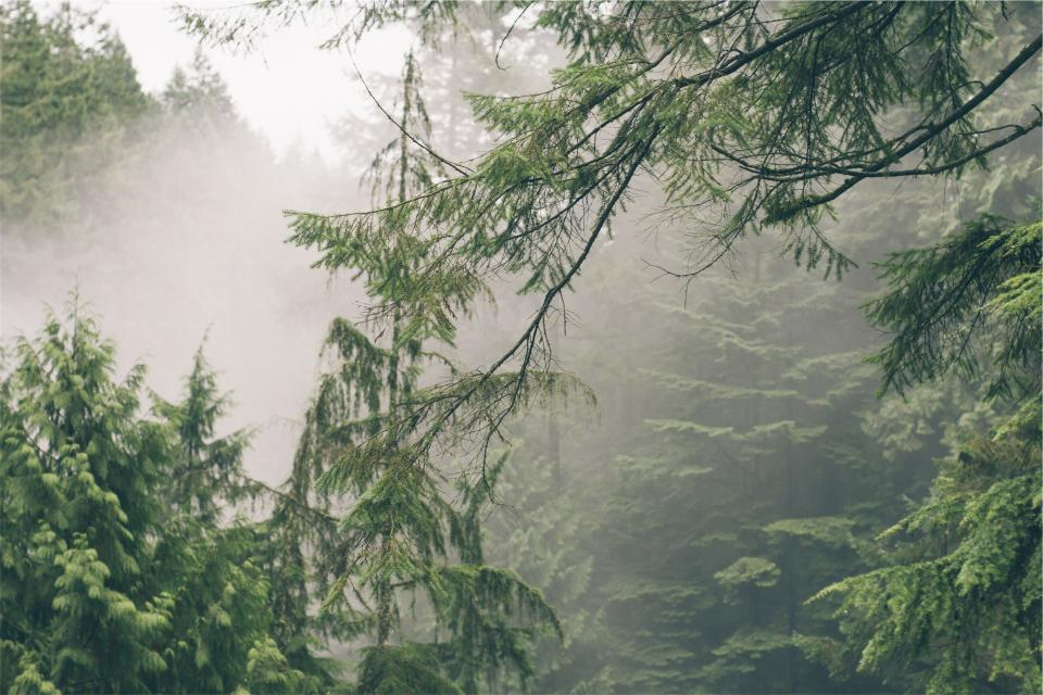 green trees fog forest nature