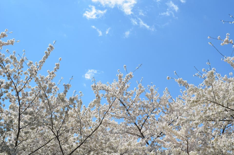 blue sky clouds nature white cherry blossoms plant flower spring