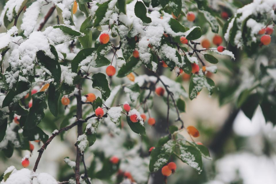 orange berries trees branches leaves winter snow