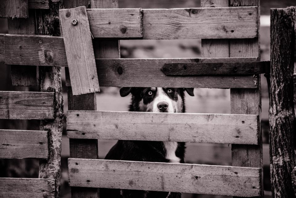 dog animal mammal eyes woods fence fierce