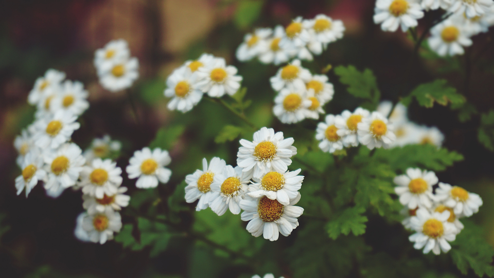 flowers daisies plants garden floral nature daisy