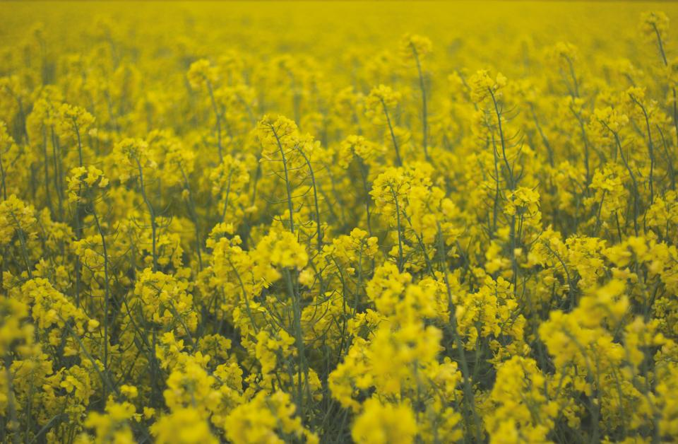 field flowers yellow spring summer nature