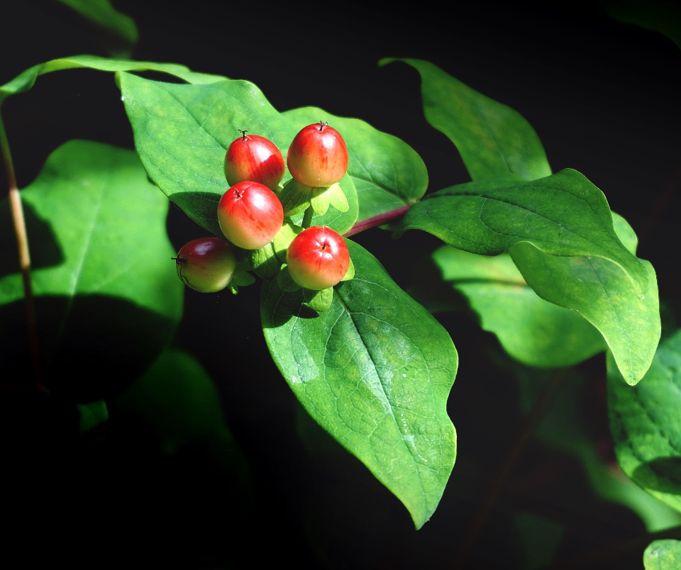 berries plants garden sunlight green leaves nature christmas nature green red leaves
