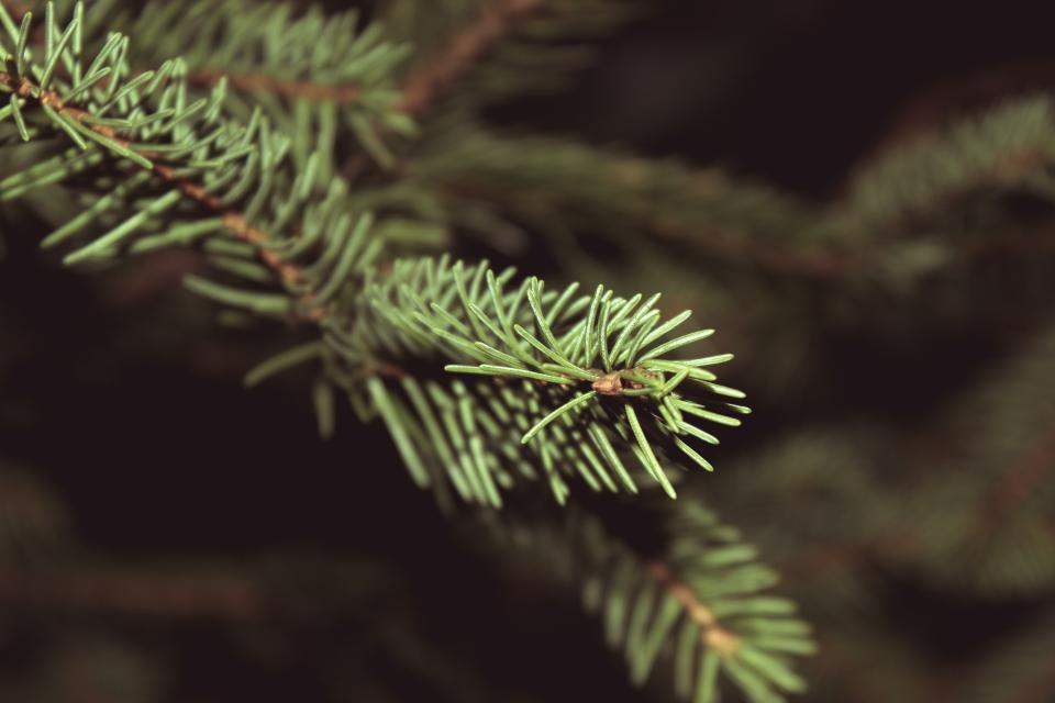 christmas tree pine leaves nature festive holidays
