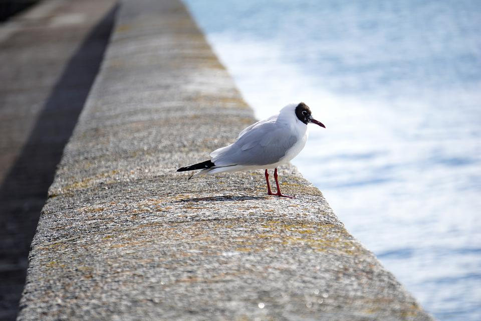 seagull dove pigeon bird animal baywalk seashore water