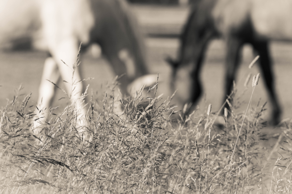 horses field background equine equestrian farm hay grass bokeh grazing eating pasture wildlife nature